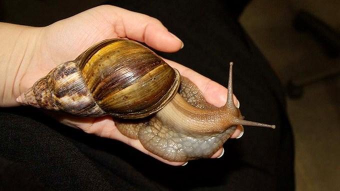 Resultado de imagen para caracol gigante africano